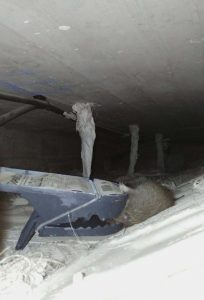 Una rata atrapada en un doble techo.
