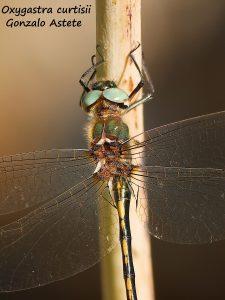 Imagen completa de la libélula. Foto Gonzalo Astete.
