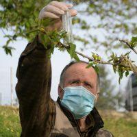 Faraján adquiere suelta en sus castañares 30 dosis de Torymus sinensis para combatir la plaga de la avispilla