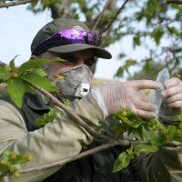 La Junta finaliza la suelta de Torymus para acabar con la plaga de la avispilla del castaño en el Genal