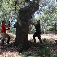 Los trabajos de la saca del corcho en los Montes de Propios entran en su recta final